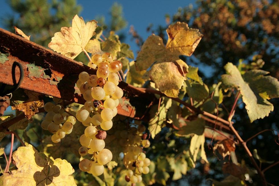 chianti vino bianco