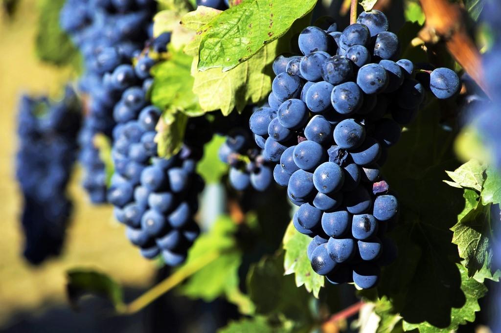 Assoenologi - Uva rossa