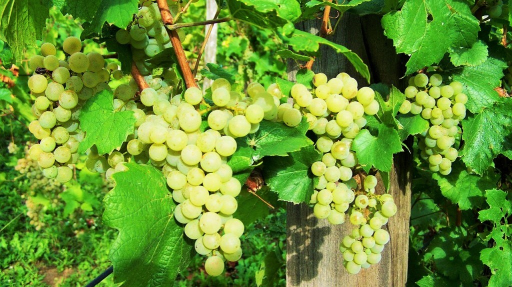 Spergola - uva