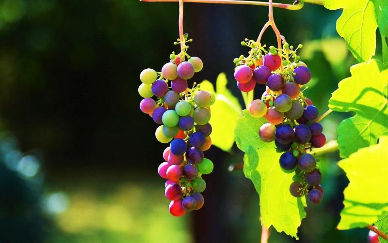 Testo Unico del Vino - uva