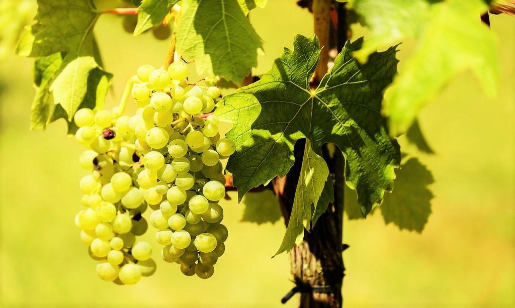 Glera - Uva bianca