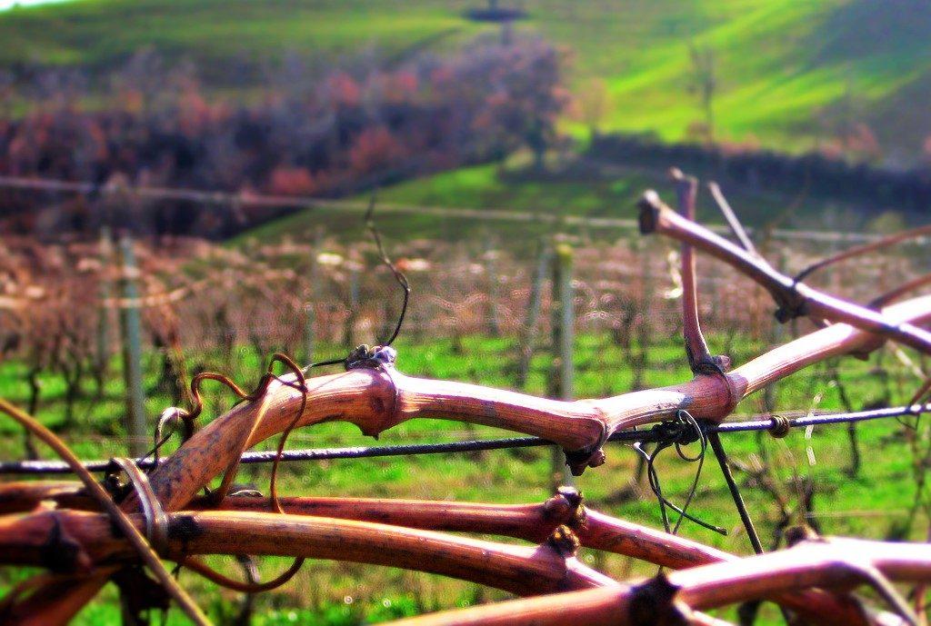 professione sommelier-viticoltura