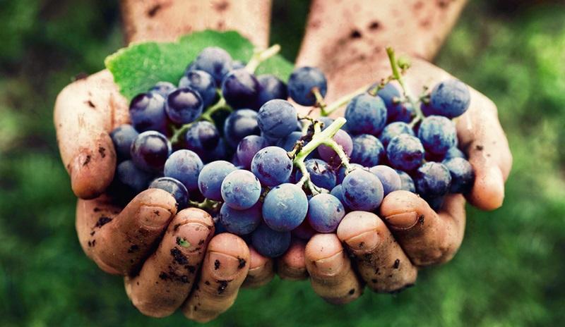 vino - detenuti - uva