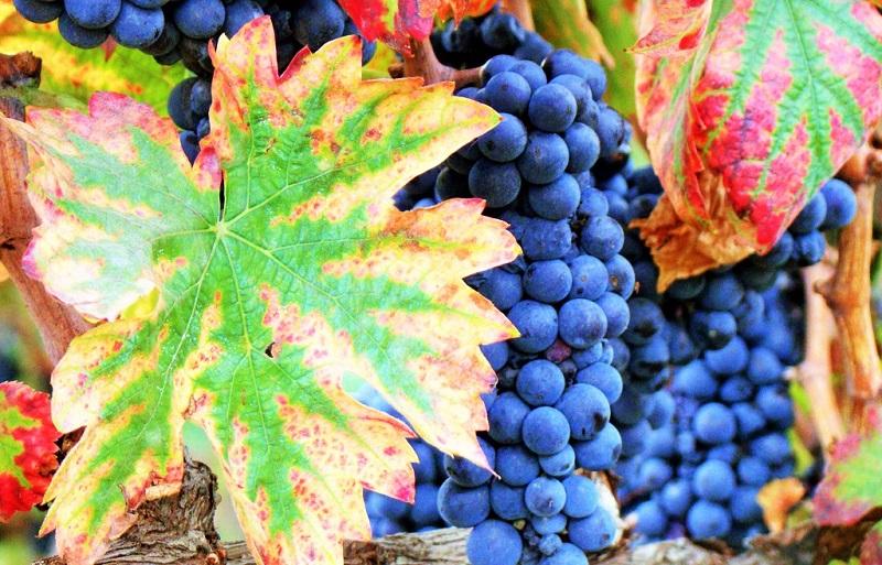 Cantine Aperte uva-umbria