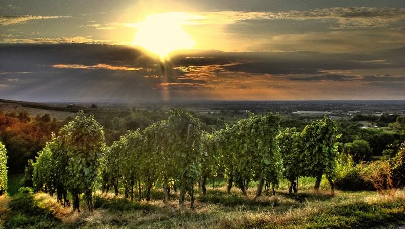 Cantine Aperte - vigne-oltrepo
