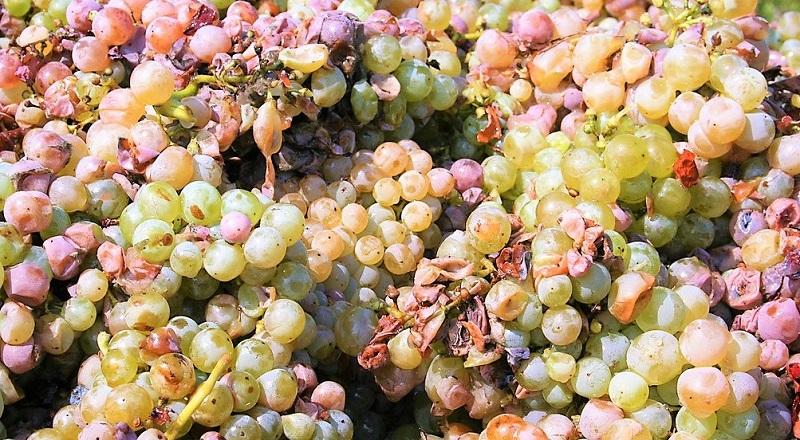 Prosecco Treviso-uva-malvasia