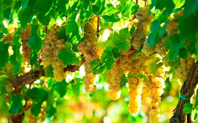 vino bio uva generico