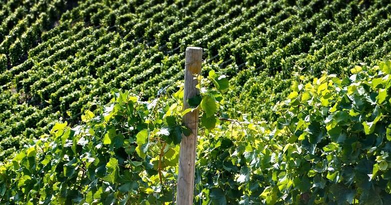 vino italiano vigneto generica