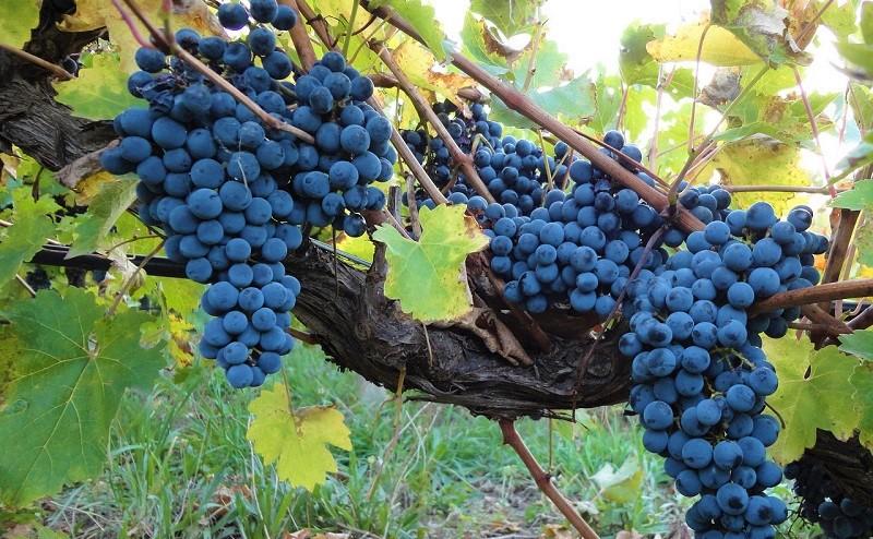 monferrato nebbiolo doc vitigno