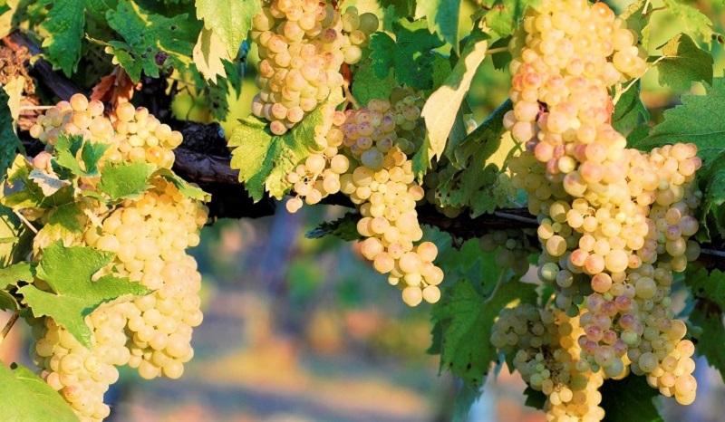 vernaccia di san gimignano uva