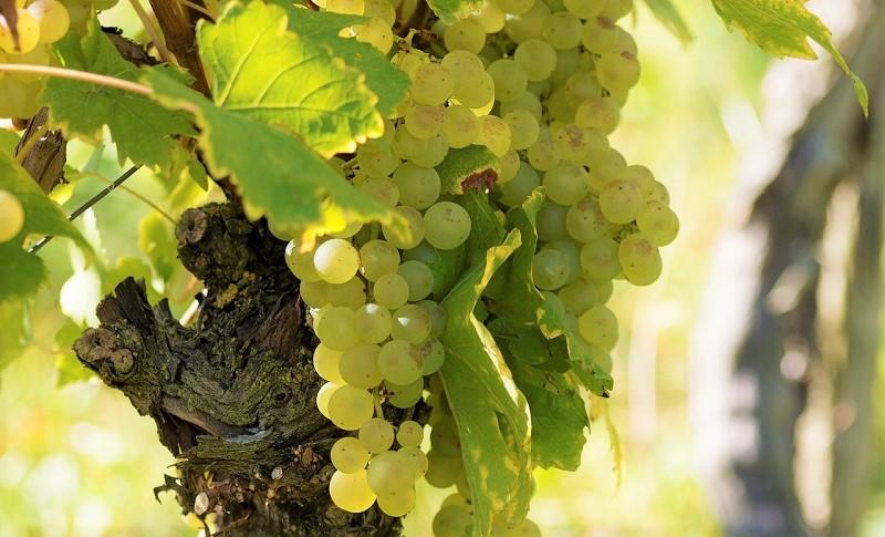 asprinio-daversa-uva-bianca-generica