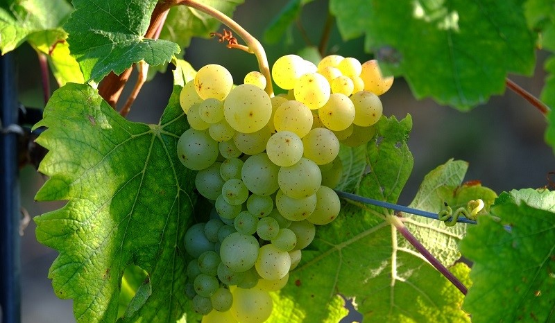 carta dei vini uva bianca