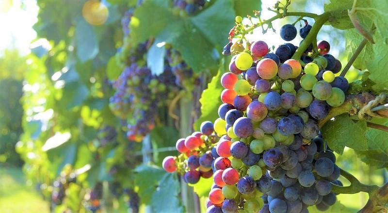 biodiversità -uva