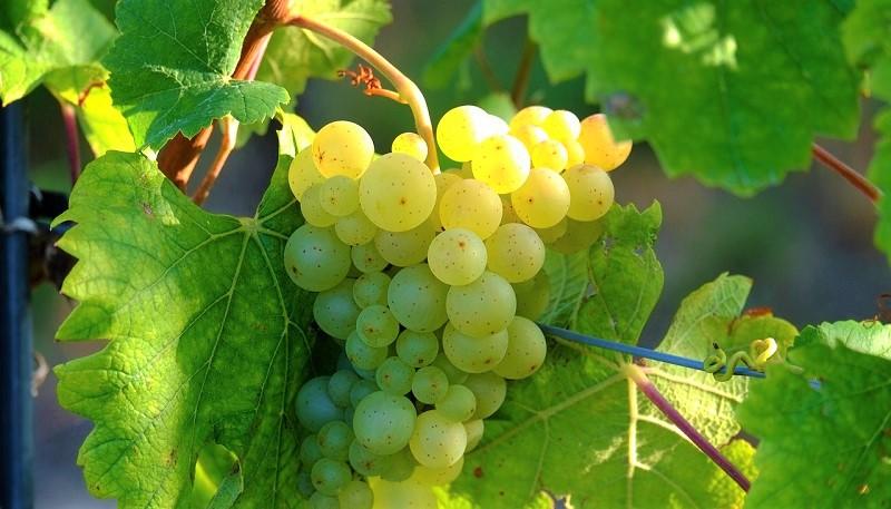 prosecco in festa uva-generico