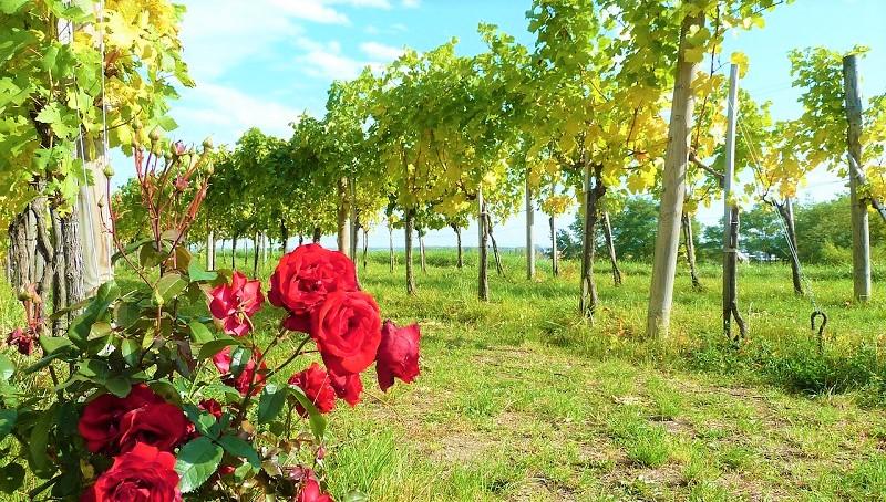 vino naturale-vigneto