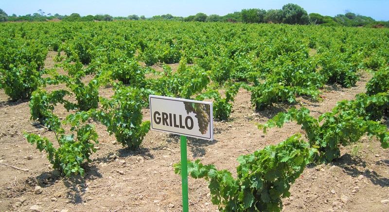 vino siciliano grillo