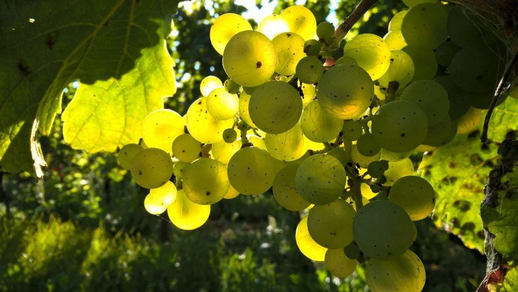 vitigni rari uva generico