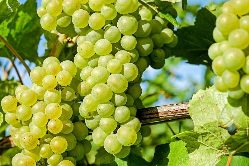 vino dei santi uva