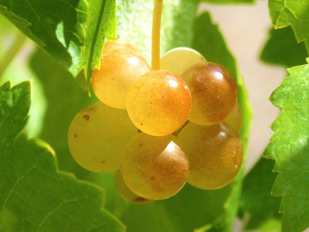 Guida al vino Vegano - Uva generico