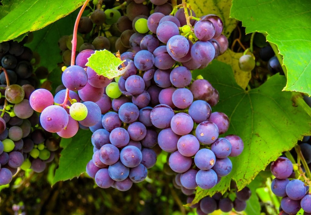 vigneti storici uva-generico