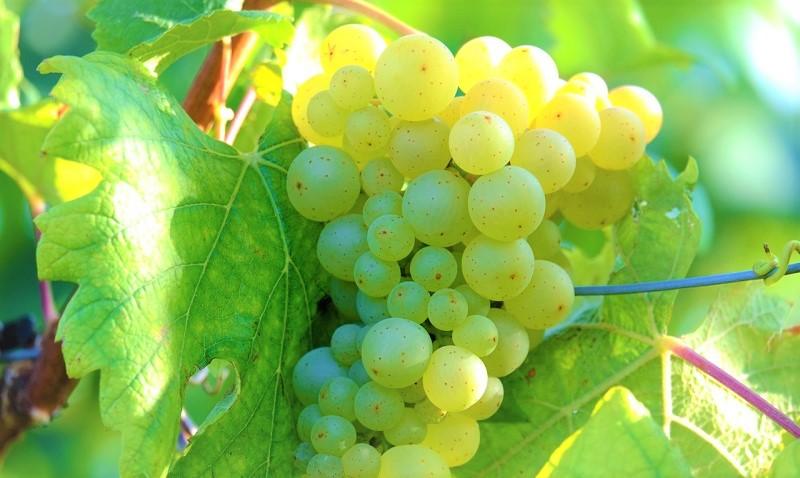 Best italian Wine Awards vitigni-a-bacca-bianca