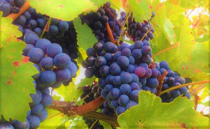 Best italian Wine Awards vitigni-bacca-rossa
