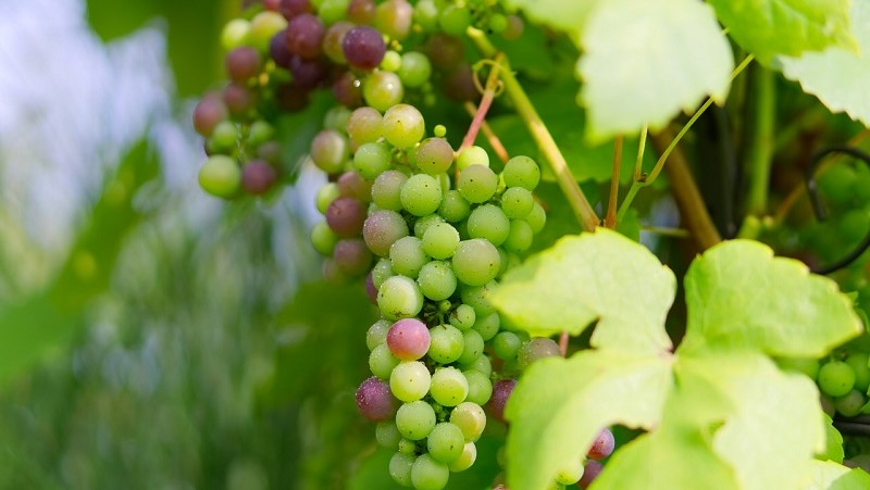 indicazione geografica uva