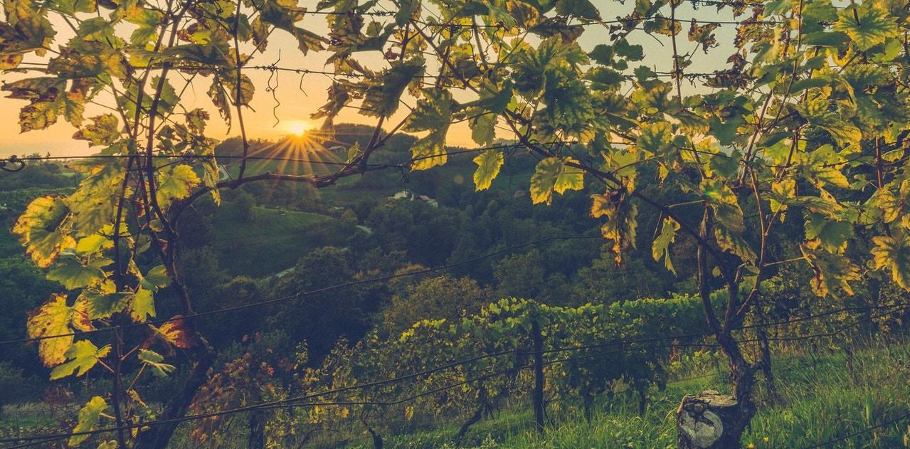 elogio del vino italiano vigna