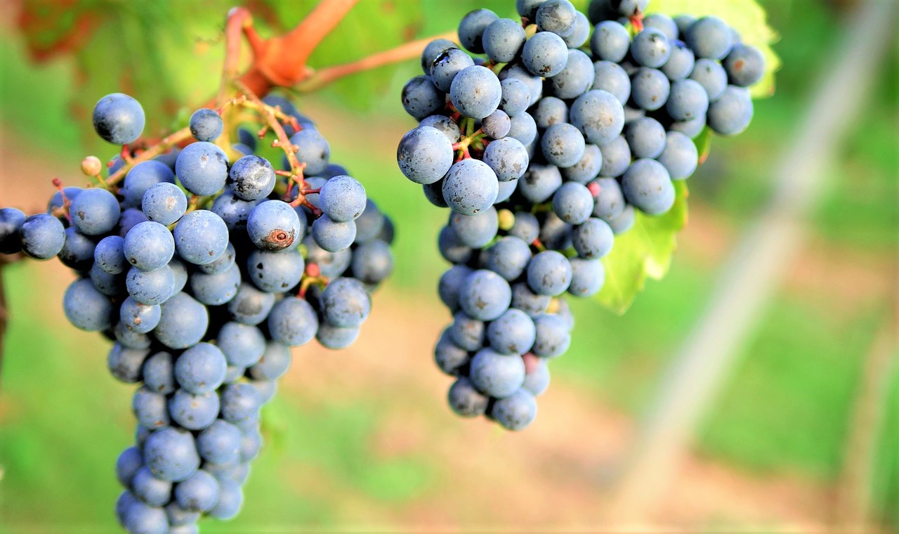 montepulciano-uva-generico