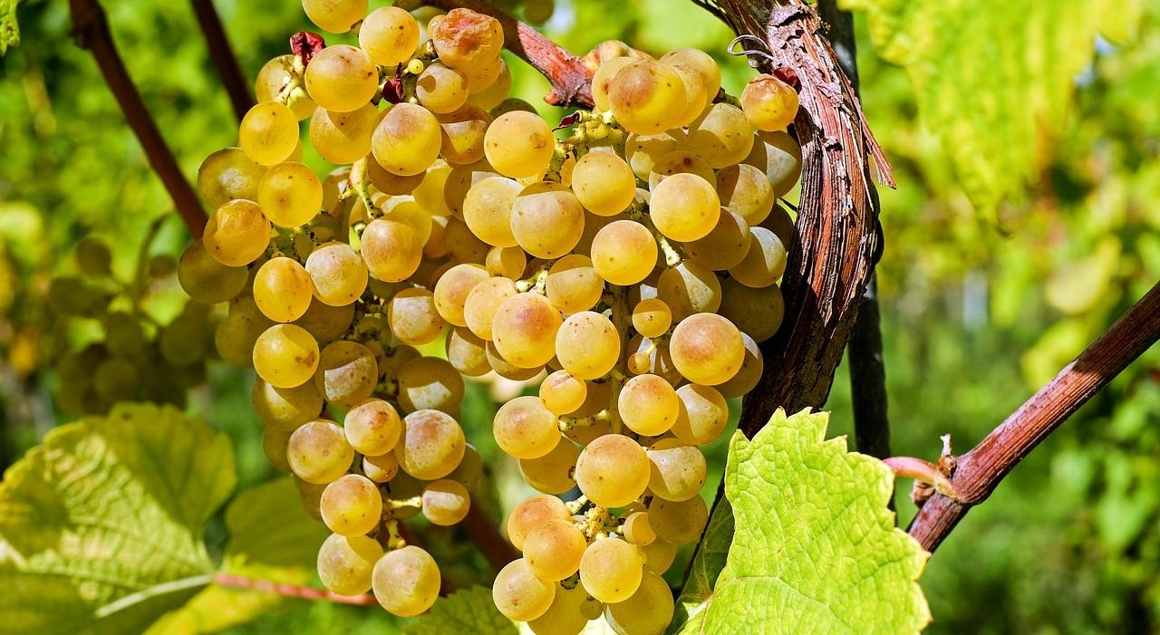 vini-eroici-uva