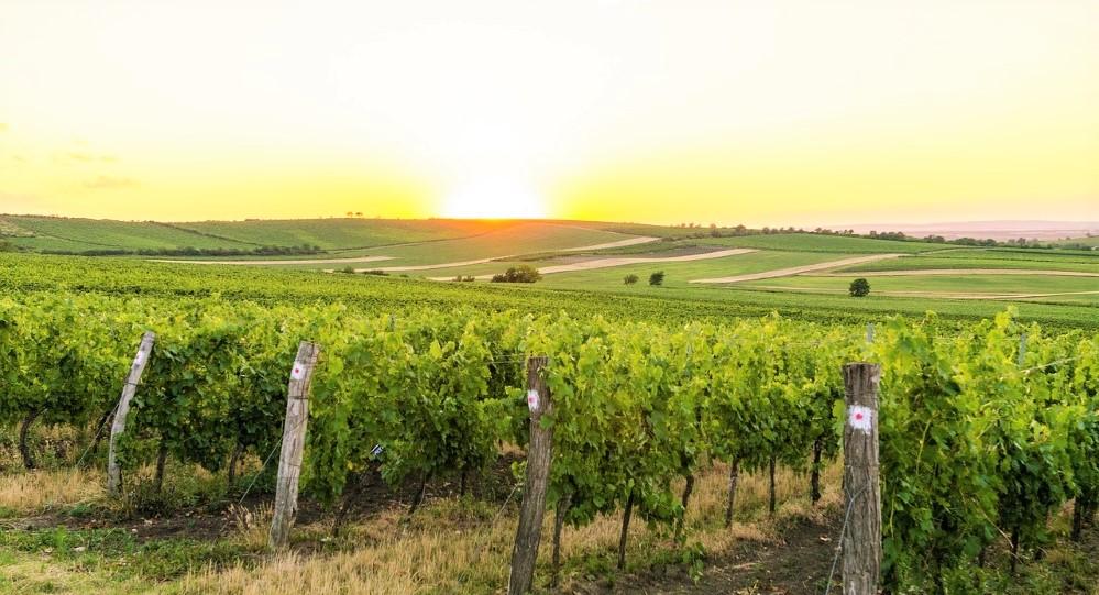 vino italiano vigne